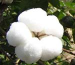 棉花:春節前特殊時期的特殊策略